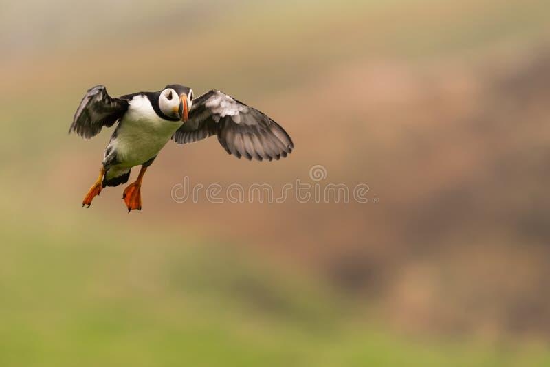 Ein Papageientaucher im Flug lizenzfreies stockbild