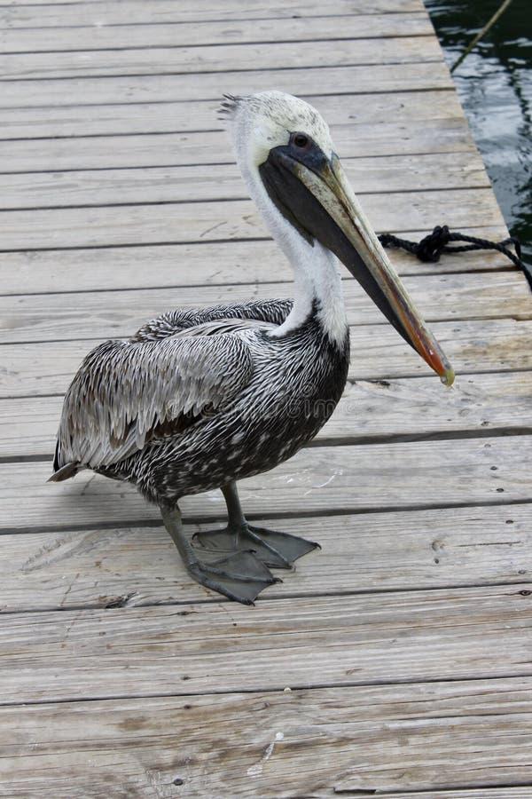 Ein Pelikan wartet auf einige Fische stockfotos