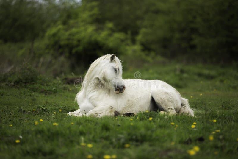 Ein Pferd, das auf dem Gebiet niederlegt lizenzfreie stockfotos