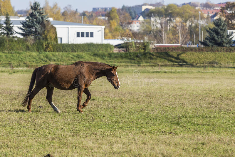 Ein Pferd im Galopp stockfotografie