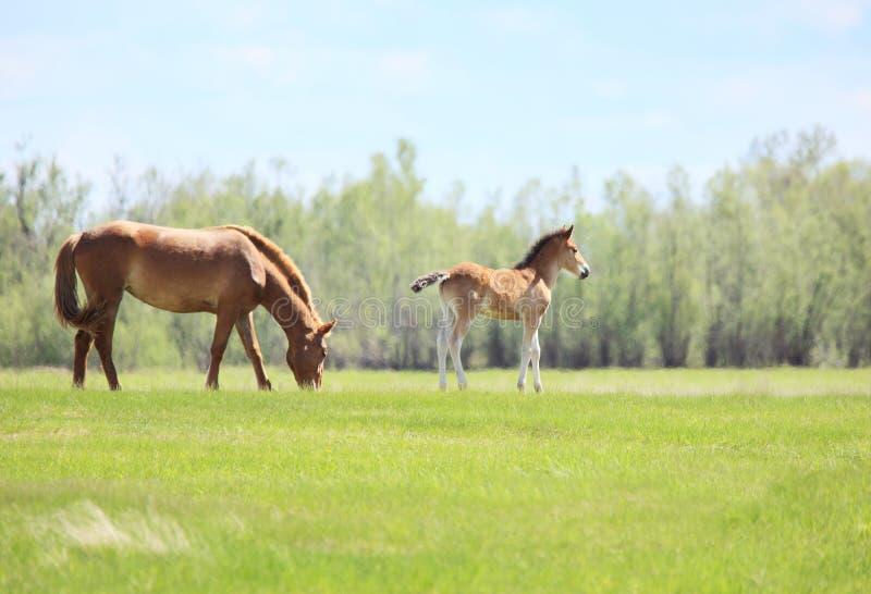 Ein Pferd mit einem Fohlen stockbild