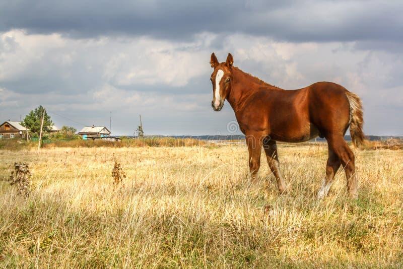 Ein Pferd steht auf einem Gebiet unter dem Dorf stockbild