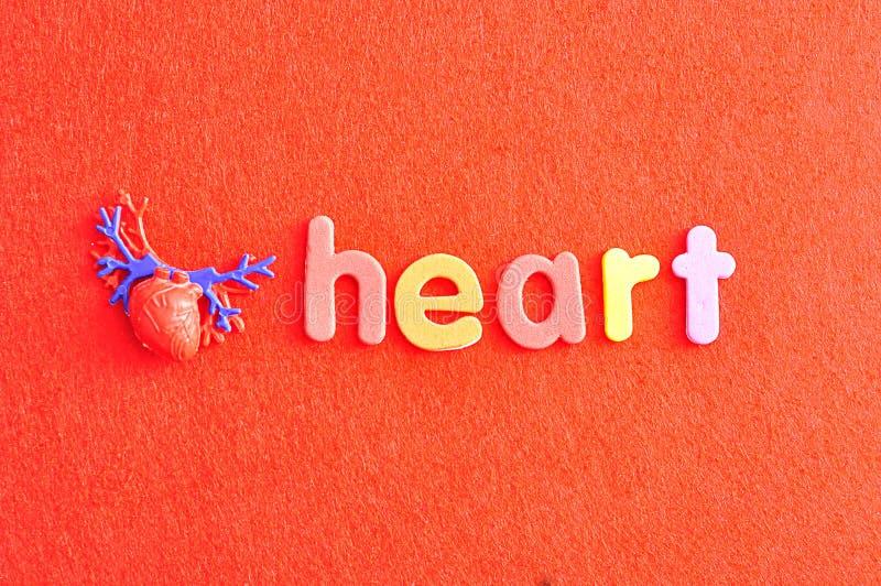 Ein Plastikmodell eines menschlichen Herzens mit dem Wortherzen stockbilder