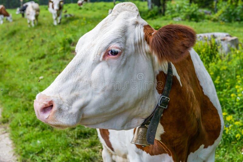 Ein Porträt einer Schweizer Kuh mit Glocke stockfoto