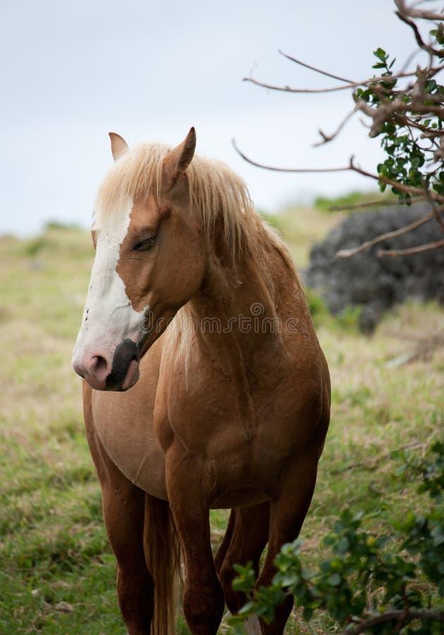 Ein Porträt eines braunen Pferds mit einem Auge geschlossen in Eua in Tonga lizenzfreies stockbild