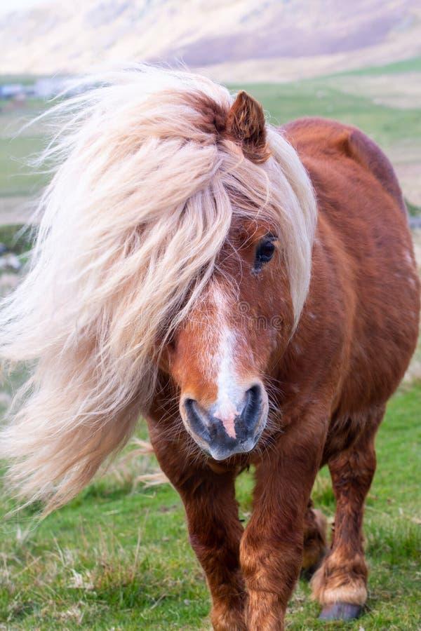 Ein Porträt eines einzigen die Shetlandinseln-Ponys auf einem Scottish machen auf sie fest stockfoto