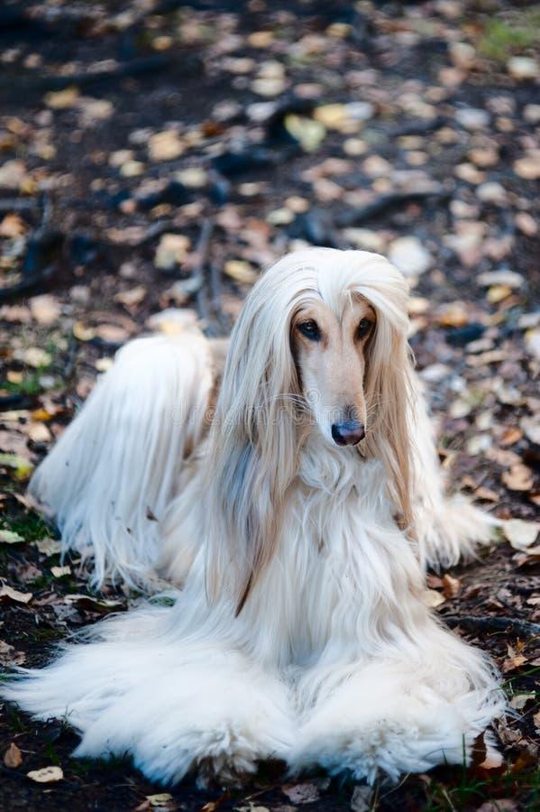 Ein Porträt eines Hundes, ein afghanischer Windhund Der Hund ist wie ein Mann lizenzfreies stockbild
