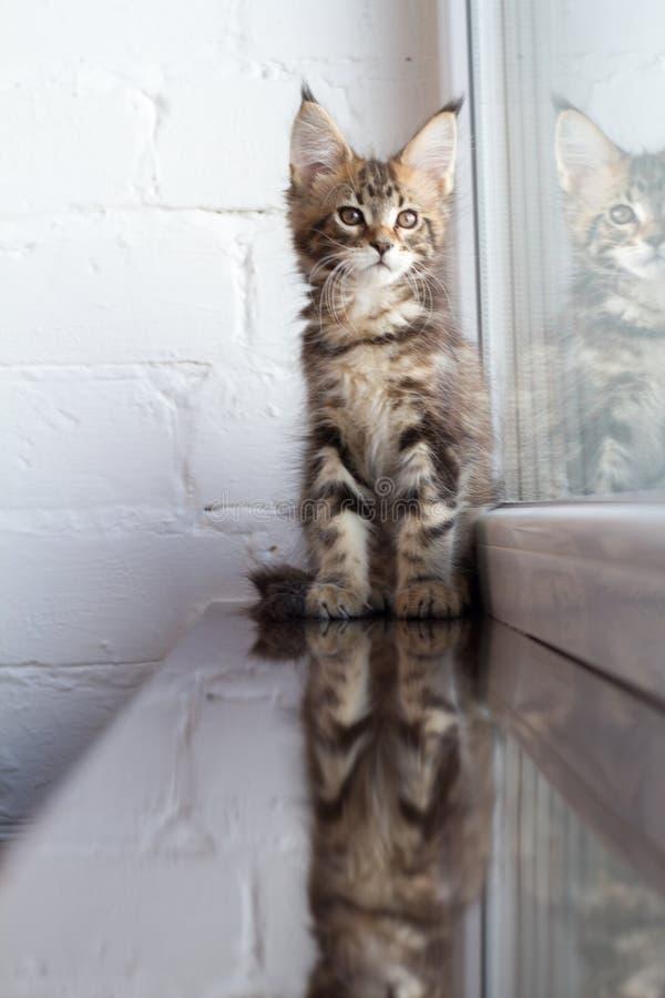 Ein Porträt eines schönen entzückenden jungen Maine-Waschbärkätzchens auf einem Fensterbrett und die Reflexion im Fenster stockbild