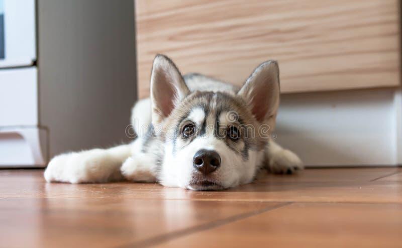 Ein Porträt eines Schlittenhunds liegt auf dem Boden lizenzfreies stockfoto