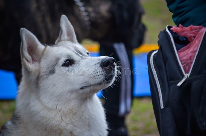 Ein Porträt eines weißen Schlittenhunds, der gewidmet oben seinem geliebten Meister betrachtet stockfotografie