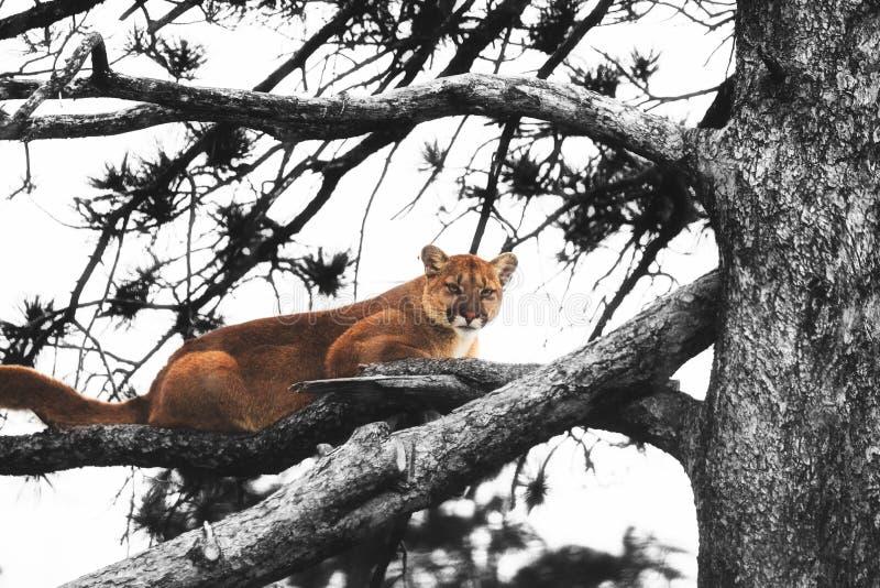 Ein Puma, der auf einen Ast legt lizenzfreie stockbilder