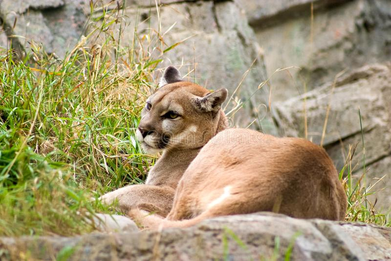 Ein Puma, der in das Gras am Calgary-Zoo legt lizenzfreies stockfoto