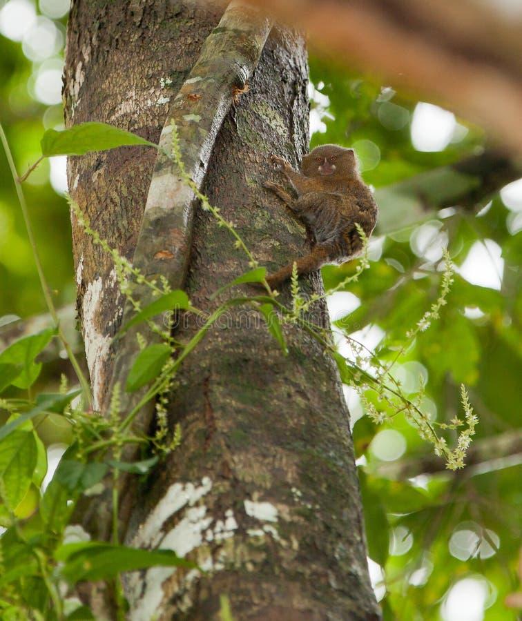 Ein PygmäenMarmosete auf einem Baum stockfoto