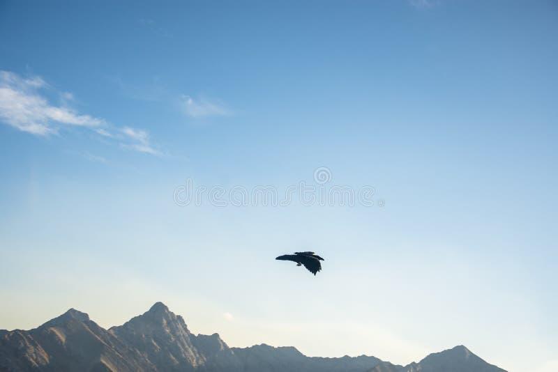 Ein Rabe, der über Rocky Mountains um Banff-Gondel, Nationalpark Banffs, Alberta, Kanada schwebt stockfoto