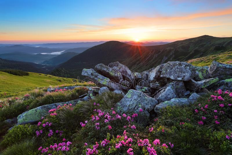 Ein Rasen mit Blumen des Rhododendrons unter großen Steinen Berglandschaft mit Sonnenaufgang mit interessantem Himmel und Wolken lizenzfreie stockbilder