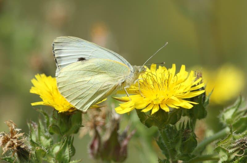 Ein recht große weiße Schmetterling Pieris brassicae, die auf einer gelben Blume nectaring sind stockfotografie
