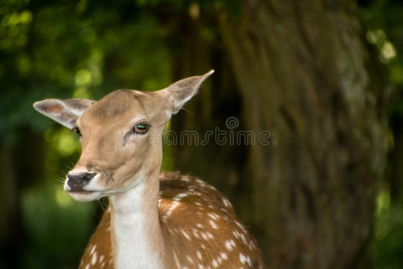 A deer looks ahead royalty free stock image