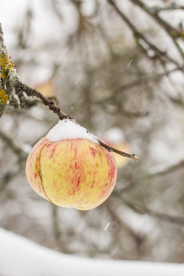 Ein reifer Apfelbaum an erscheint, das Letzte der Jahreszeit, erster Schnee stockfotos