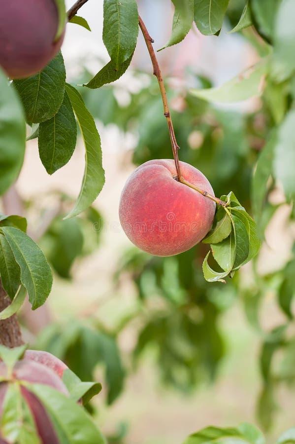 Ein reifer Pfirsich bereit zur Ernte, vertikale Orientierung stockbild