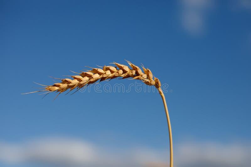 Ein reifes goldenes Ohr Roggen verbogen unter das Gewicht von Körnern gegen einen blauen Himmel stockbilder