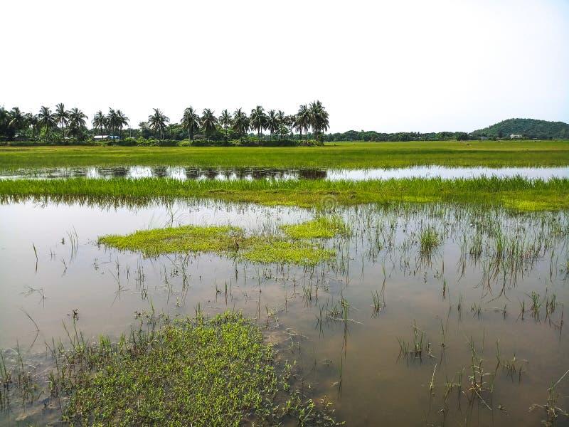 Ein Reisfeld in einem Dorf in Assam lizenzfreies stockfoto