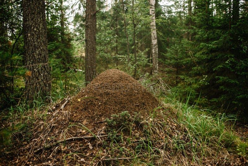 Ein riesiger Ameisenhaufen errichtet durch eine Waldameise Murovenik im Wald lizenzfreie stockfotos