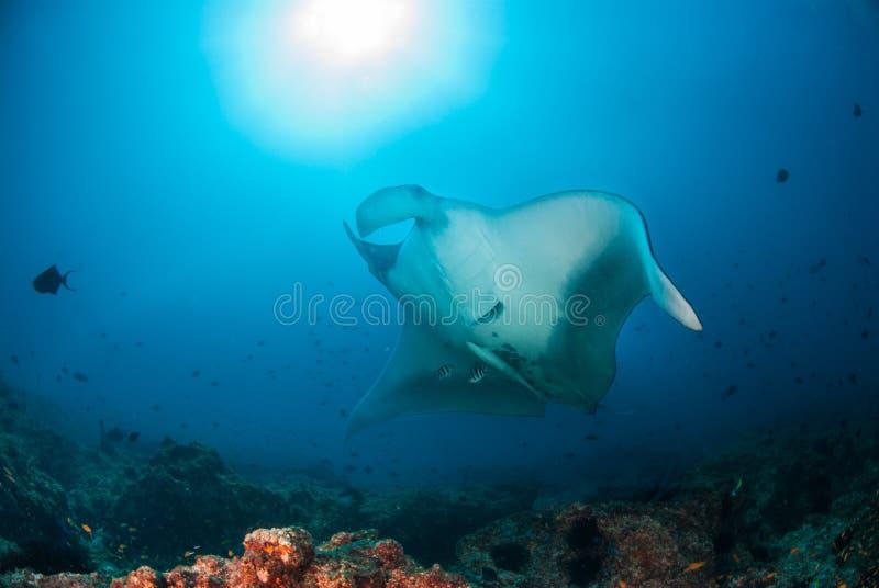 Ein riesiger ozeanischer Mantarochen stockbilder