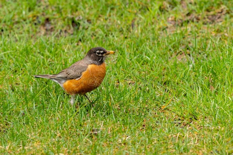 Ein Robin, der auf grünem Rasen steht stockbilder