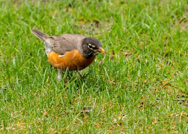 Ein Robin findet einen Wurm für Lebensmittel lizenzfreies stockfoto