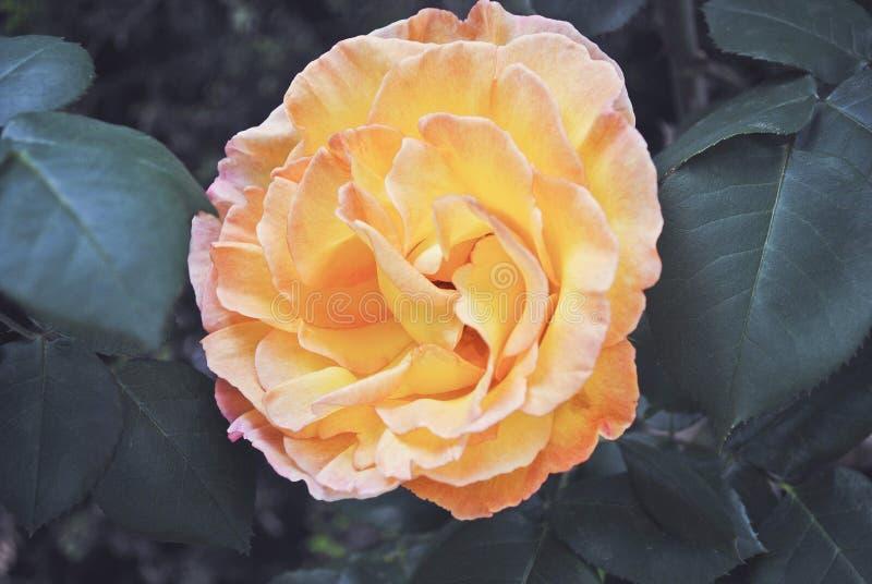 Ein Rosa färbte ganz mit den orange und gelben Pinselstrichen im Gegensatz zu den grünen Blättern, die die kalten Farben erinnern lizenzfreies stockbild