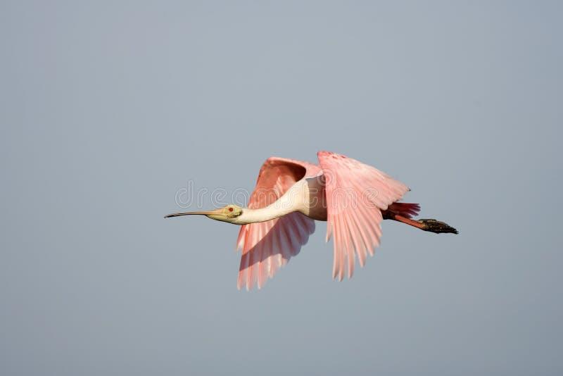Ein rosa Spoonbill im Flug lizenzfreie stockbilder