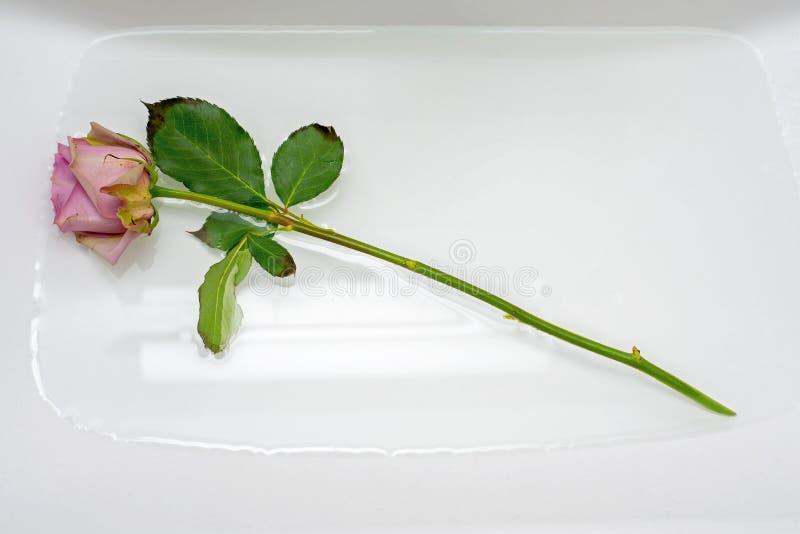 Ein Rosa stieg in Wanne mit Wasser lizenzfreie stockfotografie