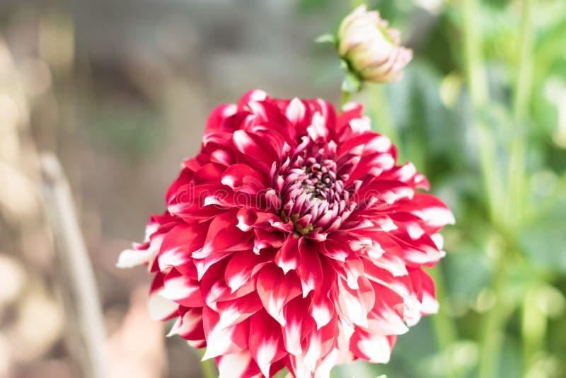 Ein rosa wei?es Nadelkissenblume Scabiosa-columbaria bezog sich auf Spezies der Sonnenblume, des G?nsebl?mchens, der Chrysantheme lizenzfreie stockfotografie