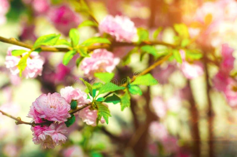 Ein Rosenbusch blüht im Frühjahr mit rosa Blumen Natürliche Tapete Hintergrund für Entwurf Kirsche Kirschblüte lizenzfreie stockbilder