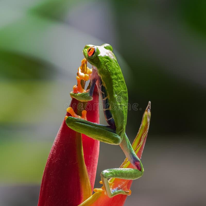 Ein rotäugiger Baumfrosch, lustiger Frosch in Costa Rica stockfotos