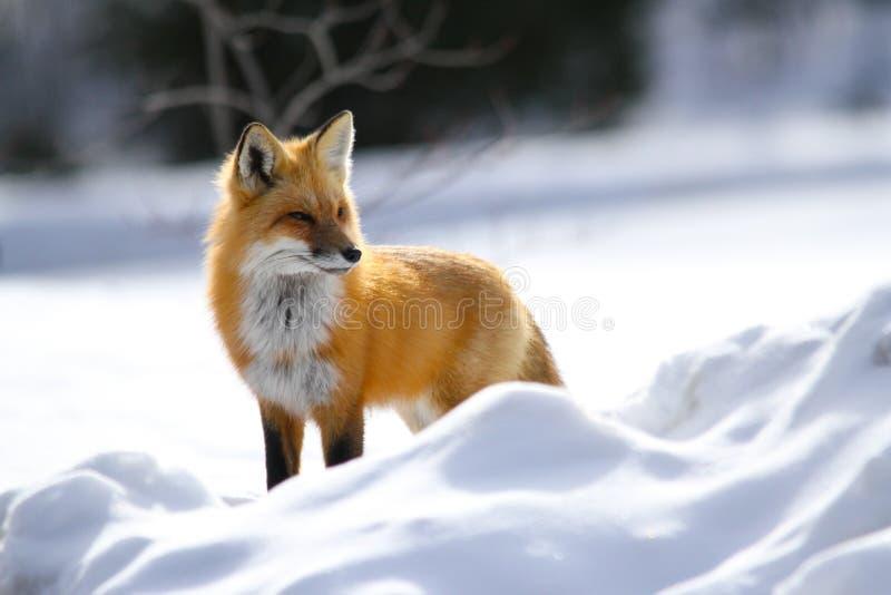 Roter Fox-Haltungen im Schnee stockbilder
