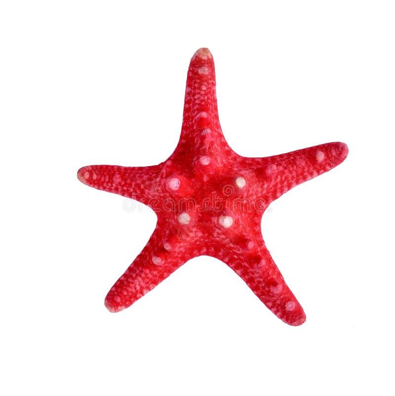 Ein roter Starfish auf lokalisiertem weißem Hintergrund stockfotos