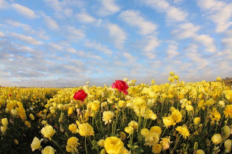 Ein roter und gelber Ranunculus stockfotografie