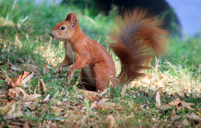 Ein rotes Eichhörnchen lizenzfreies stockbild