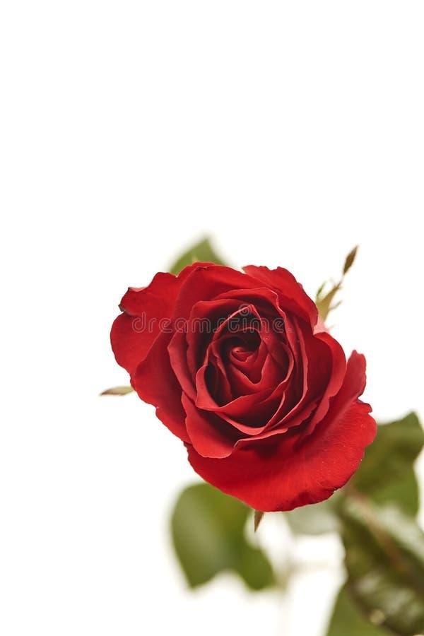 ein rotes rosafarbenes Köpfchen auf Weiß stockfotos