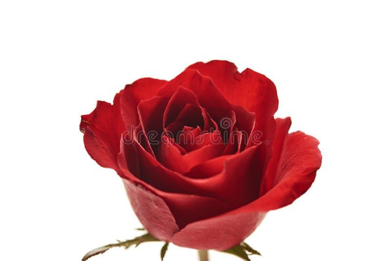 ein rotes rosafarbenes Köpfchen auf Weiß stockbild