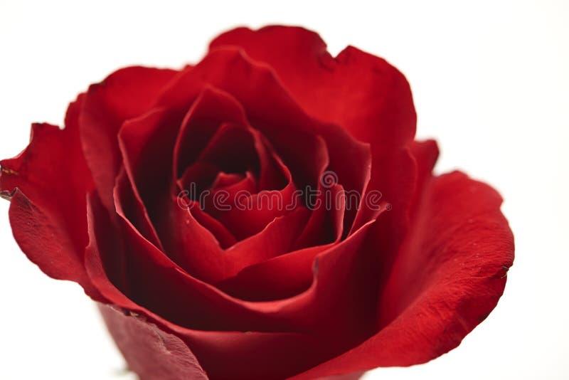 ein rotes rosafarbenes Köpfchen auf Weiß lizenzfreies stockbild
