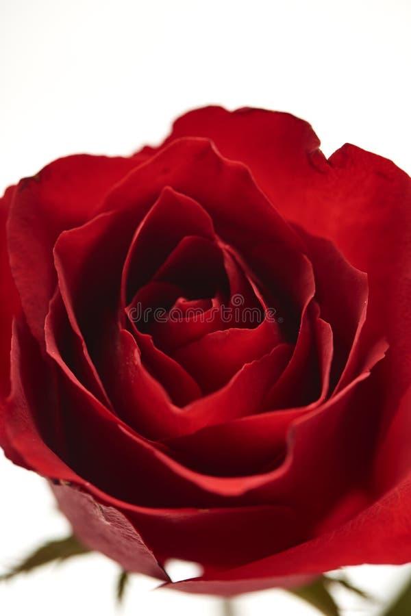 ein rotes rosafarbenes Köpfchen auf Weiß lizenzfreie stockfotos