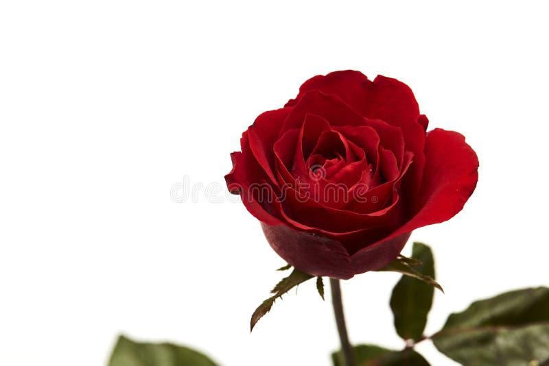 ein rotes rosafarbenes Köpfchen auf Weiß lizenzfreie stockbilder