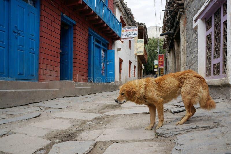 Ein rothaariger Hund geht hinunter die Straße im Dorf von Kagbeni, des Königreich-Mustangs, Nepal lizenzfreie stockbilder