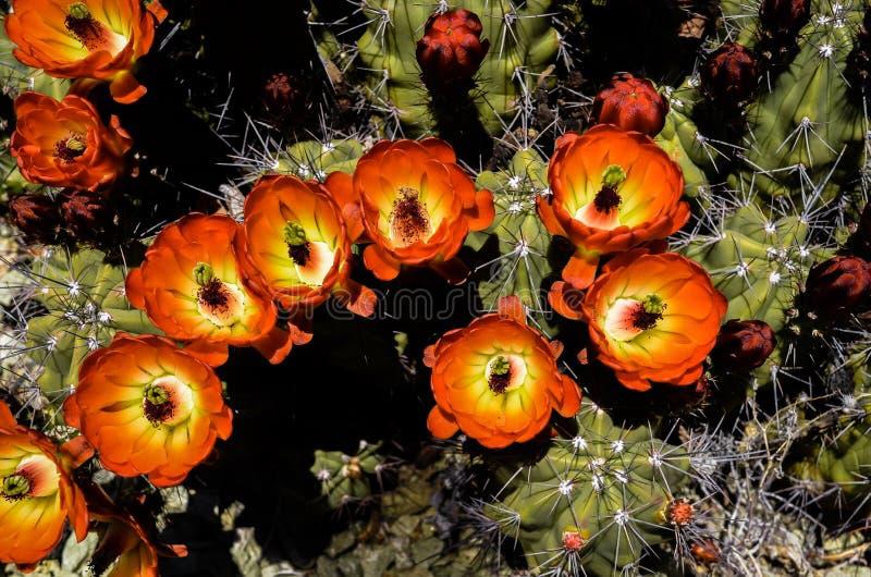Ein Rotwein-Schalenkaktus zeigt weg seine glänzenden roten, orange und gelben Blumen im Frühjahr in der Sonora-Wüste, Arizona lizenzfreie stockfotos