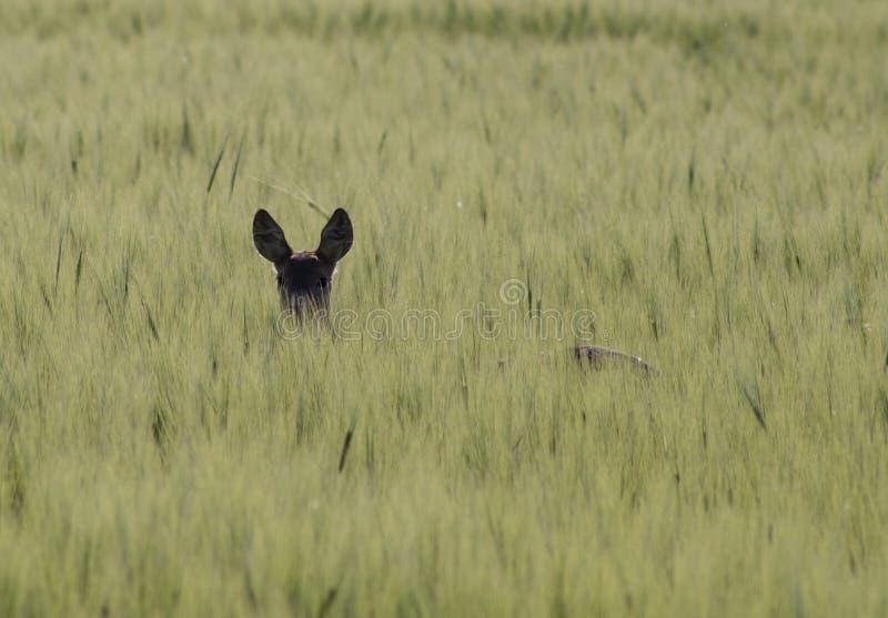 Ein Rotwild, das zwischen Ernten sich versteckt stockfoto