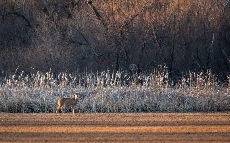 Ein Rotwild taucht am goldenen Morgen des Winters auf stockfoto