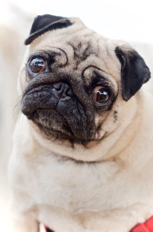 Ein süßer Pug, der einen netten unschuldigen aufmerksamen Blick gibt stockfotografie