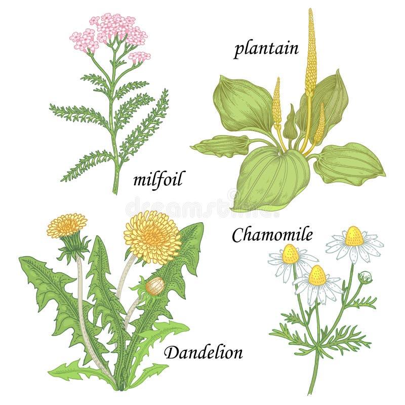 Ein Satz Heilpflanzen - Kamille, Löwenzahn, Banane, milf lizenzfreie abbildung